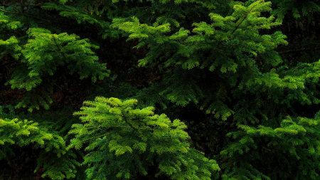 绿色松树枝极品游戏桌面精选4K+高清壁纸