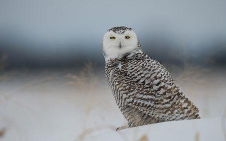 雪地上的猫头鹰高端桌面4K+高清壁纸图片