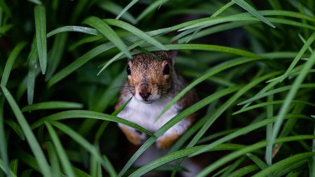 躲在草丛里的小松鼠高端桌面4K+高清壁纸图片