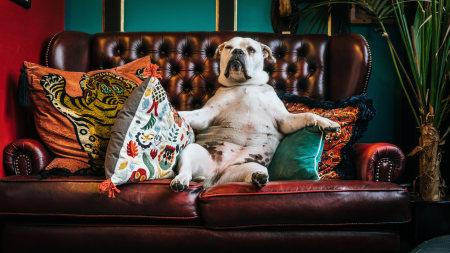 坐在沙发上的斗牛犬高端桌面4K+高清壁纸图片