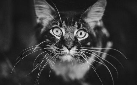 猫咪黑白照片高端桌面4K+高清壁纸图片