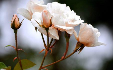 白玫瑰极品壁纸推荐高清壁纸