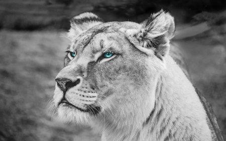 非洲母狮子高端桌面4K+高清壁纸图片
