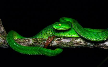 盘在树枝上的绿色毒蛇高端桌面4K+高清壁纸图片