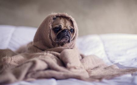 被毯子裹着的哈巴狗高端桌面4K+高清壁纸图片