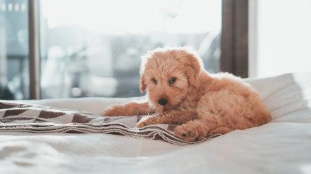 躺在白毯子上的棕色泰迪犬高端桌面4K+高清壁纸图片