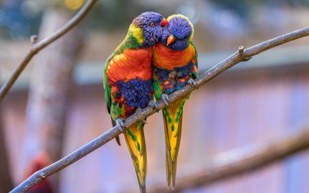 一对虹彩吸蜜鹦鹉情侣高端桌面4K+高清壁纸图片