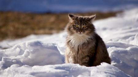 坐在雪地上的猫咪百变桌面精选高清壁纸