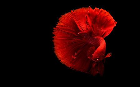 红色泰国斗鱼极品壁纸推荐高清壁纸