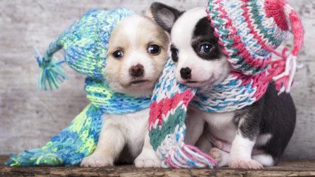 戴情侣帽的两只小狗高端桌面4K+高清壁纸图片