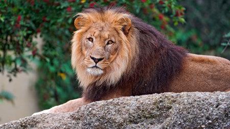 石头上的雄狮极品壁纸推荐高清壁纸