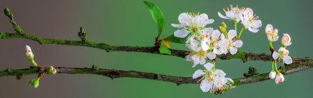 樱花树枝极品游戏桌面精选4K+高清壁纸