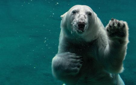 白色北极熊游泳高端桌面4K+高清壁纸图片