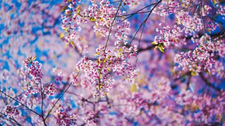 春天樱花盛开极品壁纸推荐高清壁纸