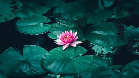 池塘的荷叶和莲花极品游戏桌面精选4K+高清壁纸