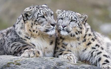 两只雪豹高端桌面4K+高清壁纸图片