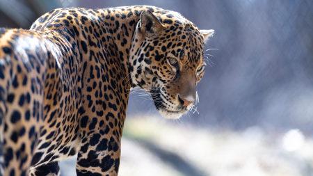 美洲豹高端桌面4K+高清壁纸图片