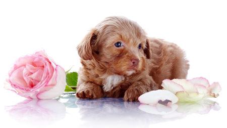 玫瑰花旁的小狗高端桌面4K+高清壁纸图片