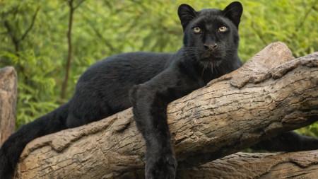 趴在树干上的黑豹高端桌面4K+高清壁纸图片