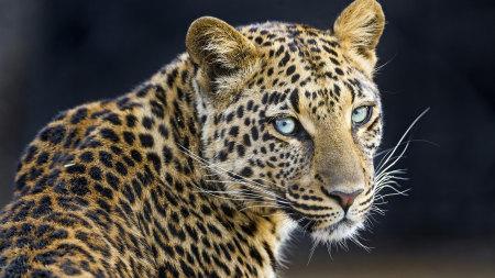 豹子高端桌面4K+高清壁纸图片