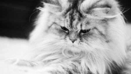 灰白猫咪高端桌面4K+高清壁纸图片