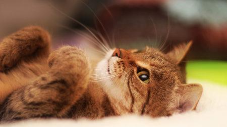 仰躺着的可爱小猫高端桌面4K+高清壁纸图片