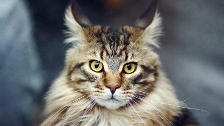 正经的猫高端桌面4K+高清壁纸图片