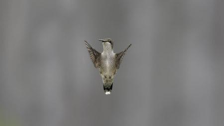 拍翅膀的小鸟高端桌面4K+高清壁纸图片