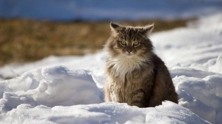 冬天雪地上的猫高端桌面4K+高清壁纸图片
