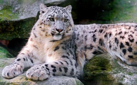 趴着的雪豹高端桌面4K+高清壁纸图片
