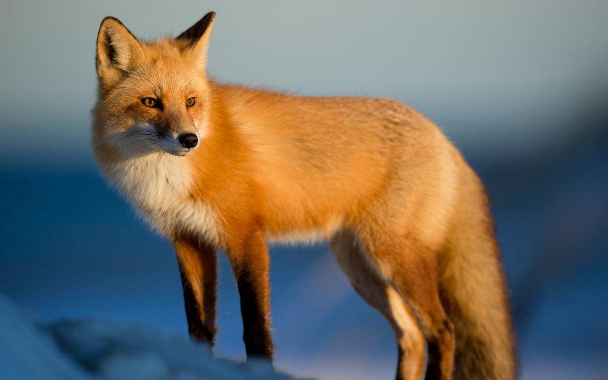 赤狐高端桌面4K+高清壁纸图片