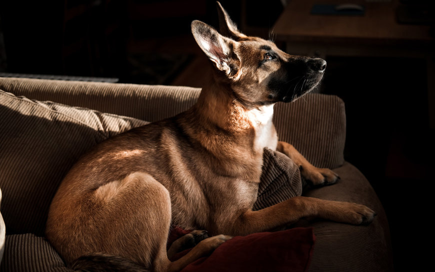 沙发上的德国牧羊犬高端桌面4K+高清壁纸图片