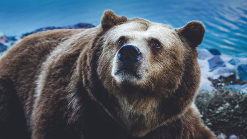 棕熊高端桌面4K+高清壁纸图片