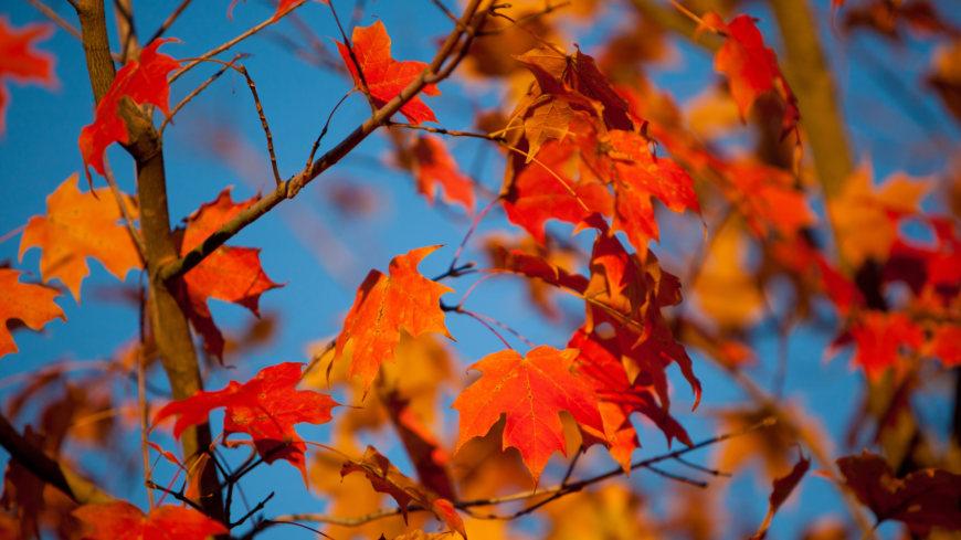秋天的红枫叶高端桌面4K+高清壁纸图片