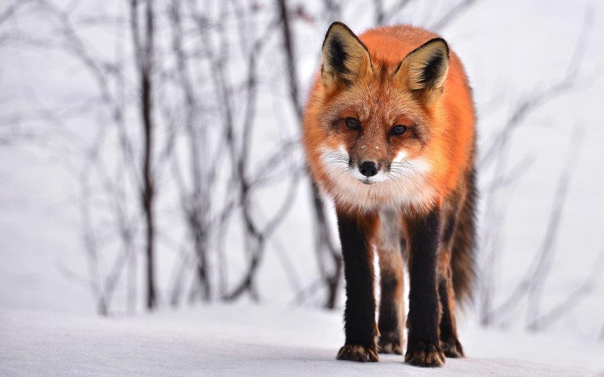 狐狸高端桌面4K+高清壁纸图片